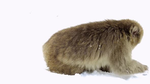 Thumbnail for Japanese Macaque or Monkey Searching Food in Snow