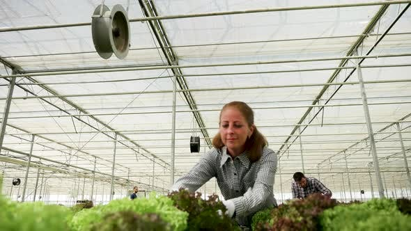 Female Agronomist Inspecting the Growth of Organic Green Salad