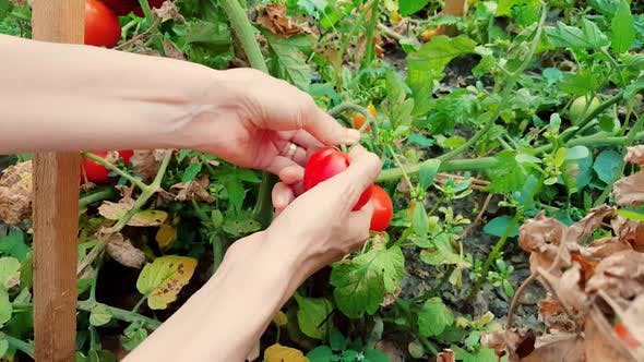 Thumbnail for Woman harvesting fresh organic tomatoes in the garden on a sunny day
