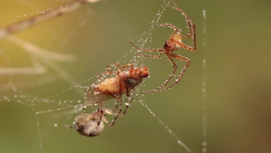 Thumbnail for Close Up Macro Shot of a Two Spiders Fight for the Captured Victim