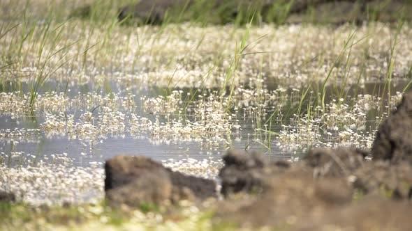 Thumbnail for Blumen auf der Oberfläche des Sees