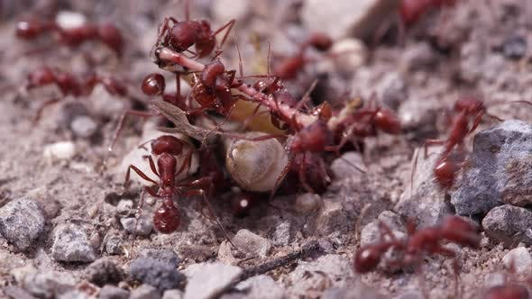 Many fire ants attacking grasshopper