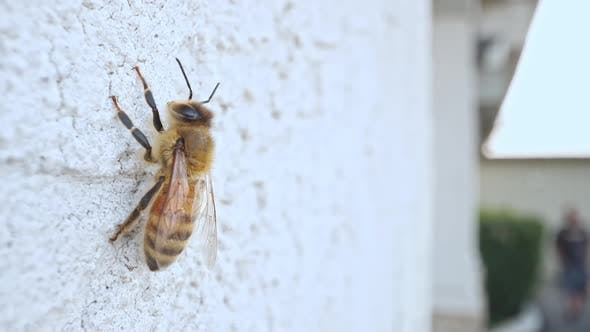 Honey bee resting on wall as person walks by