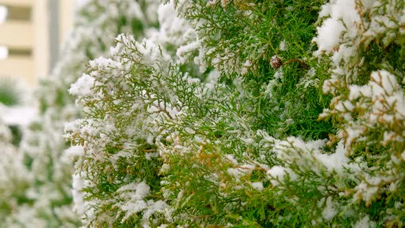 Cover Image for Snow on Pine Branches