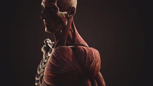 Muskel- und Skelettsystem des menschlichen Körpers