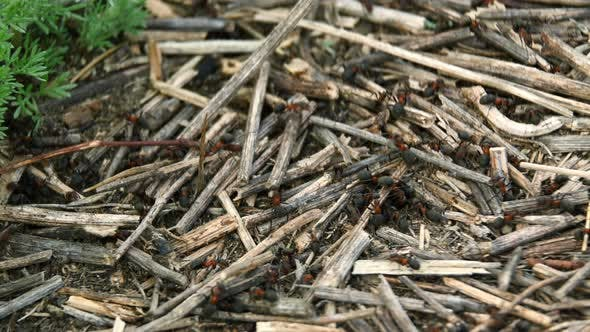 A Small Black Ants with Red Thorax Are Carry Dry Twigs on the Anthill, Close-up. Insects in Their