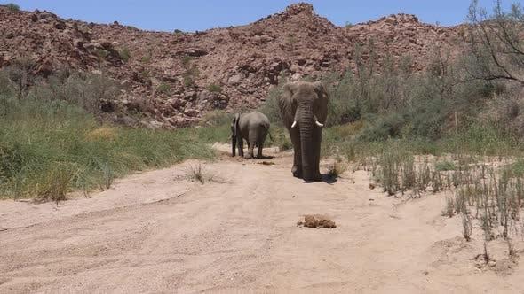 Desert elephant walks towards the camera