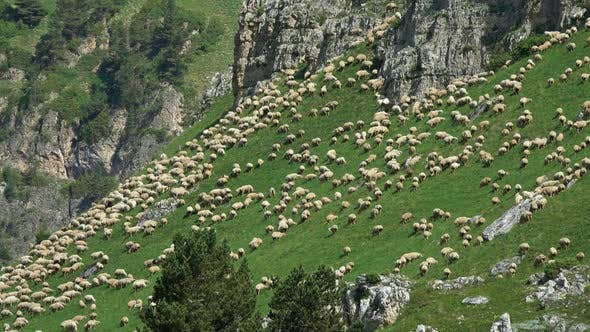 Thumbnail for Flock of Sheep Grazing in Mountains