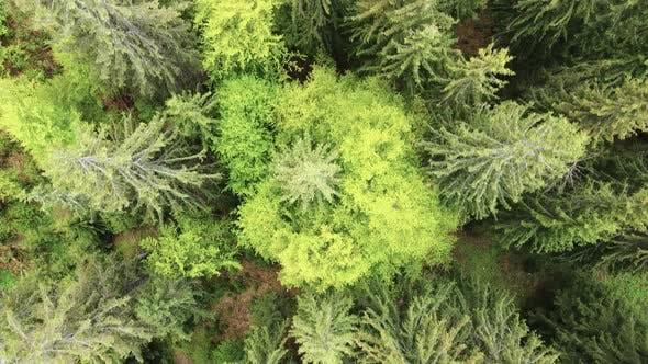 Thumbnail for Ukraine, Carpathians: Forest Landscape, Aerial View