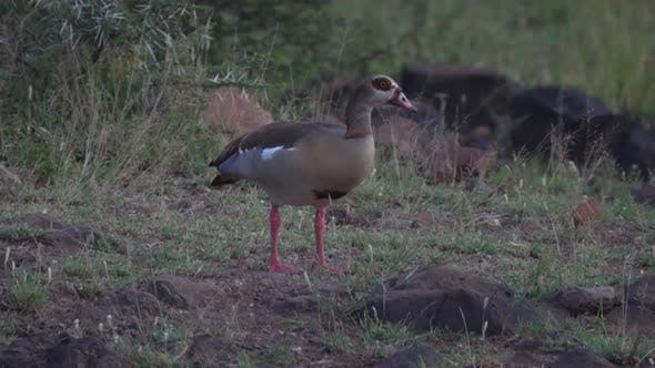 Thumbnail for Egyptian goose grazing at uMkhuze Game Reserve in South Africa