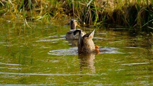 Mallard Duck Diving