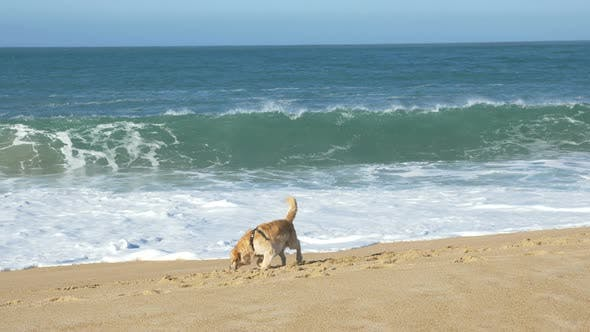 Happy Dog Digs and Plays on Golden Sand Beach Near Ocean