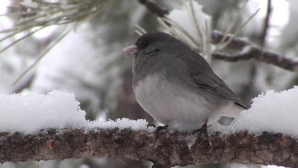 Thumbnail for Junco Adult Lone Resting in Winter Slate-colored Dark-eyed in South Dakota