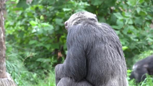 Chimpanzee Adult Resting Summer