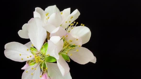 Thumbnail for Almond Blossom Timelapse 3