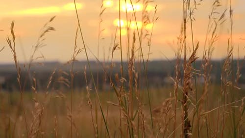 Tranquil Landscape of Sunset Sun Shining Through High Grass on Field and Waving Under Wind