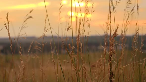 Thumbnail for Tranquil Landscape of Sunset Sun Shining Through High Grass on Field and Waving Under Wind