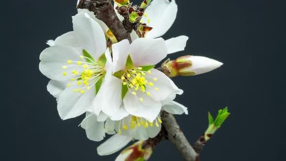 Thumbnail for Almond Blossom Timelapse