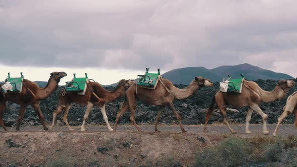 Thumbnail for Camel Caravan Goes on Background of Mountains