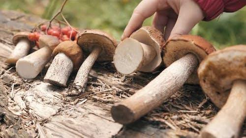 Woman Puts Cut Porcini Mushroom in Boletus Row on Big Log