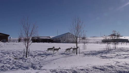 Pronghorn Antelope Adult Immature Herd Many Walking Moving in Winter Buildings