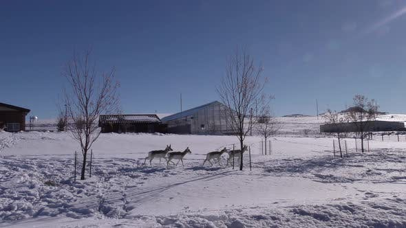 Thumbnail for Pronghorn Antelope Adult Immature Herd Many Walking Moving in Winter Buildings