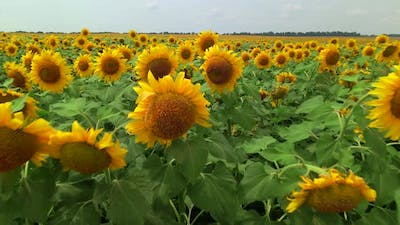 Drone Extremly Close Flies to Young Sunflowers on a Large Sunflower Field in Summer