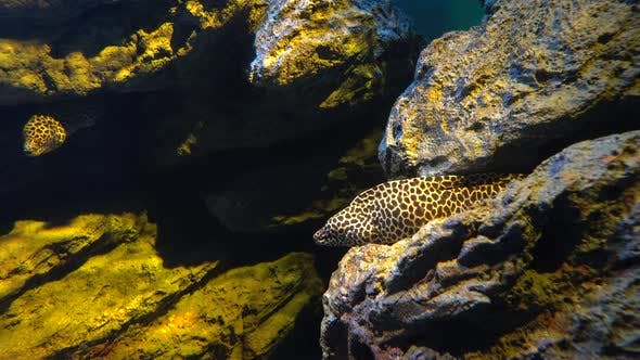 Leopard Moray Eel or Dragon Moray Opens Mouth and Hiding in The Rock Cleft