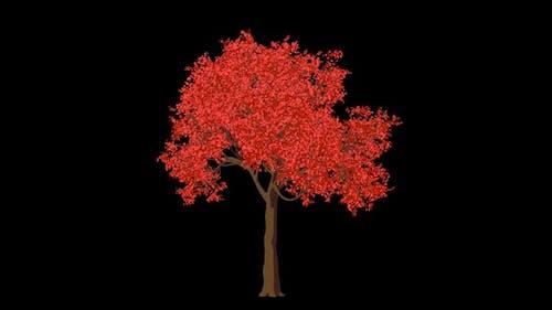 Cartoon Acer Tree Grow