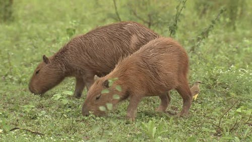 Capybara Young Pair Eating Grazing in Brazil South America