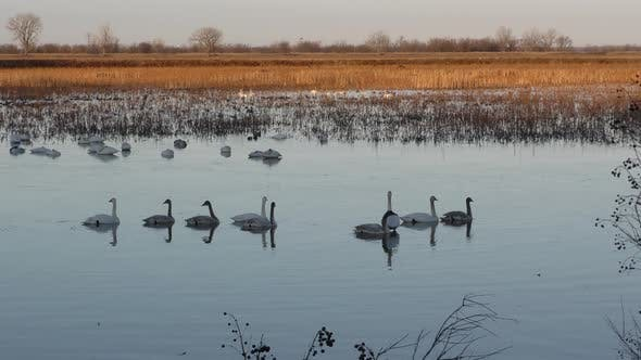 Trumpeter Swan Adult Immature Flock Swans Swimming and Flying in Wetland Marsh