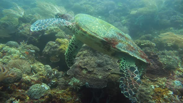 Thumbnail for Green Sea Turtle Under Water in Philippines