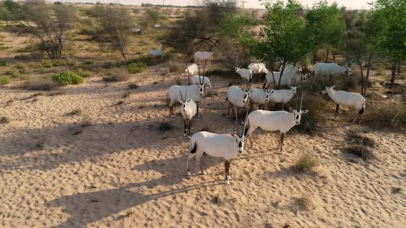 Aerial view of group of goats on desert landscape, Abu Dhabi, U.A.E
