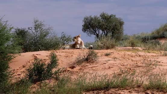 Thumbnail for Female Lion Lying in Kalahari desert, South Africa wildlife