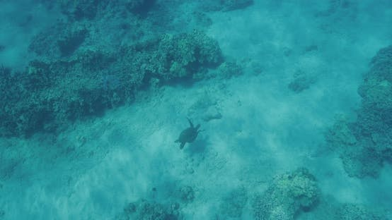 Thumbnail for Green sea turtle swimming in the ocean
