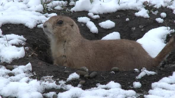 Thumbnail for Black-tailed Prairie Dog Lone in Winter Snow Burrow Hole Cloudy