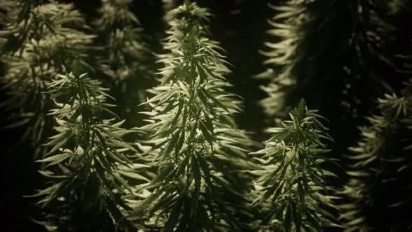 Thickets of Marijuana Plant on the Field
