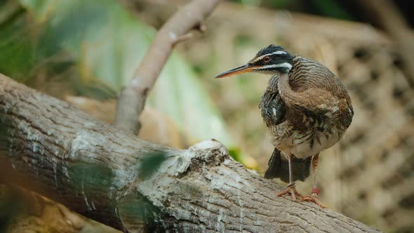 Thumbnail for The Sunbittern Bird of Tropical Regions of the Americas