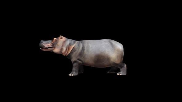 Thumbnail for Hippopotamus Eat