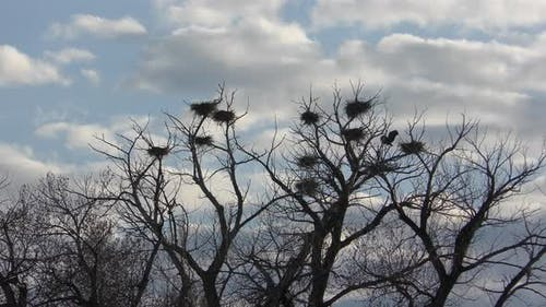 Great Blue Heron Nest and Nesting Birds in Spring Rookery in Wyoming Great Plains