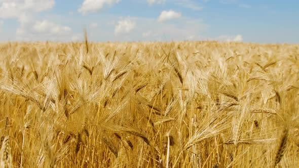 Thumbnail for Wheat Field with Blue Sky, Natural Ecological Food. Wheat Ears Field Before Harvest
