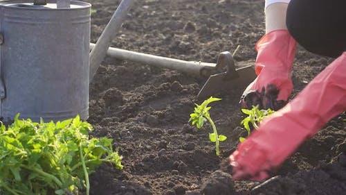 Planting Vegetable Seedlings In The Garden 5