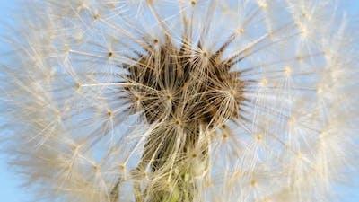 Macro shot of a Dandelion rotating