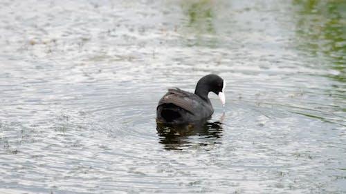 eurasischer Blässe schwimmen auf einem Teich