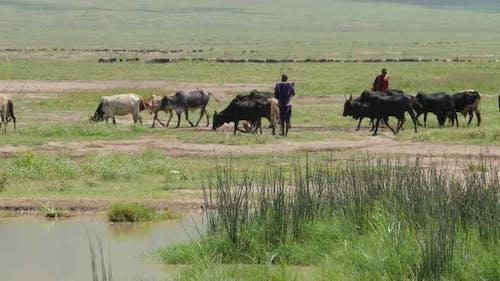 Masai shepherdess with a herd of goats in Ngorongoro crater Tanzania - 4K