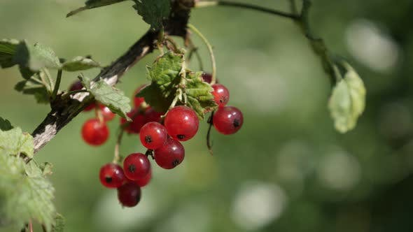 Thumbnail for Deciduous shrub of tasty  redcurrant red berries shallow DOF 4K 2160p 30fps UltraHD footage - Health