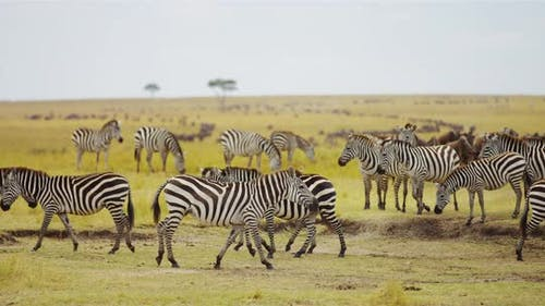 Zebras walking in the savanna