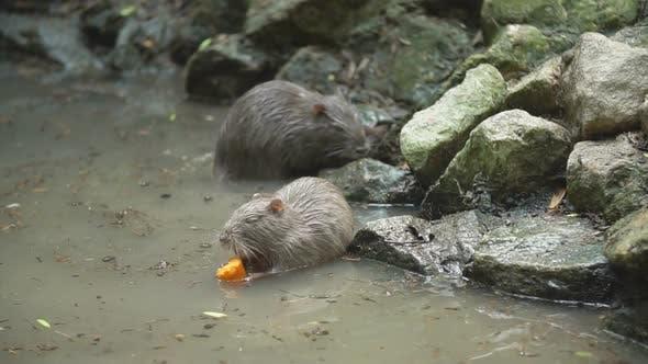 Thumbnail for Nutria Eating Carrots