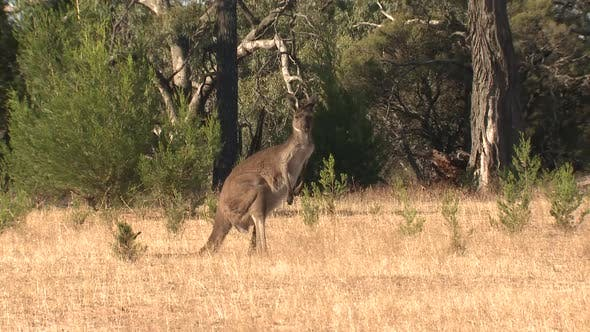 Western Grey Kangaroo Adult Lone Jumping Hopping Bouncing in New South Wales