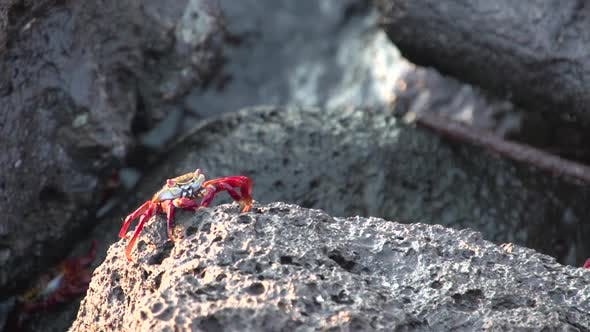 Thumbnail for Red rock crabs at the rocks of San Cristobal